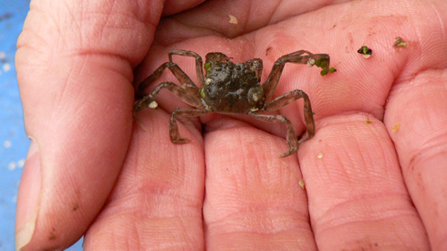 A juvenille mitten crab in the palm of someone's hand