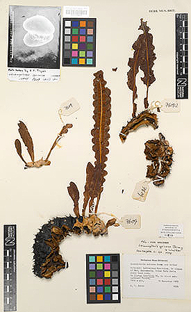 Holotype of Lecanopteris spinosa mounted on a herbarium sheet in the Museum collection.