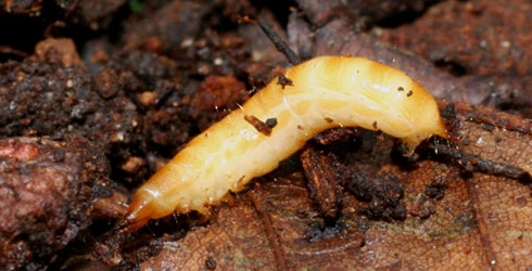 Larva of the violet click-beetle
