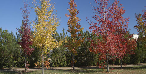 Stand of young Liquidambar trees