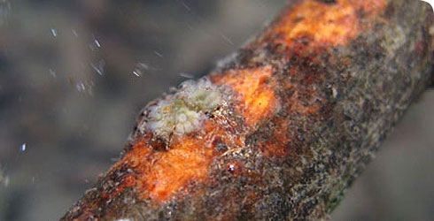 L. crystallinus colony on a tree branch