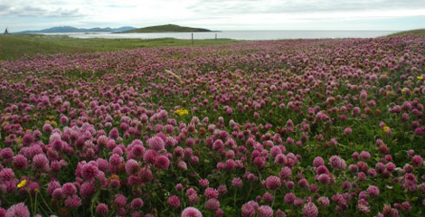 Scottish machair grassland