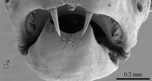 Scanning electron micrograph of the anterior view of a male Danionella dracula specimen