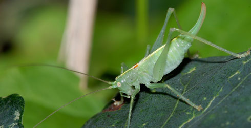 Male southern oak bush-cricket