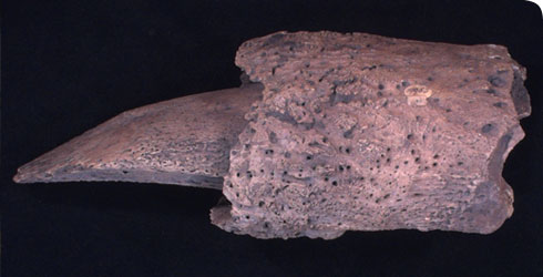 A terminal phalange from the fore foot of Megatherium