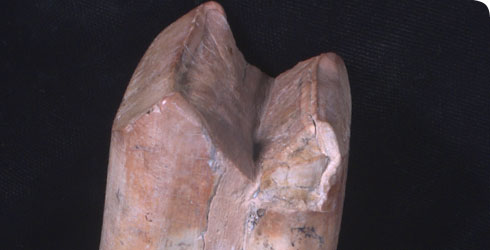 Biting surface of a Megatherium tooth