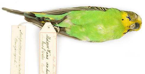 An early specimen of budgerigar