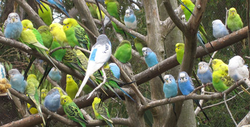 Flock of captive budgerigars