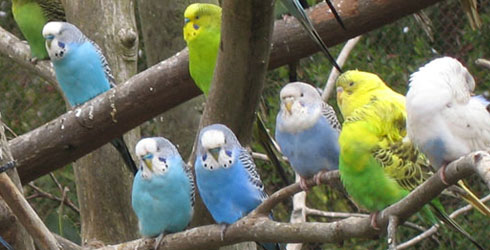 A flock of captive budgerigars