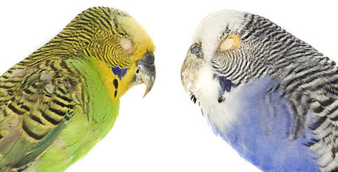 Wild and captive budgie specimens
