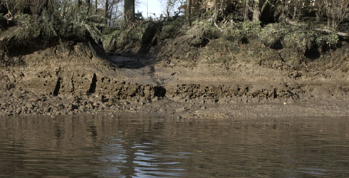 Mitten crab burrows in the unprotected river bank of Syon Park flood meadow in London