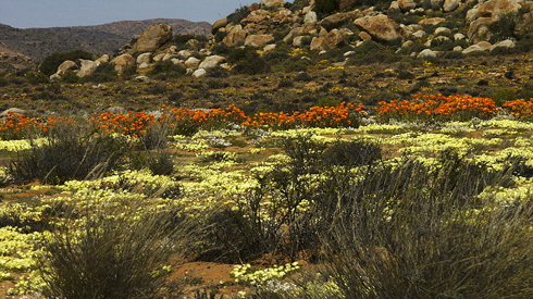 Flowering desert in the Goegap Nature Reserve in Namaqualand, South Africa