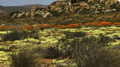 Flowering desert in Namaqualand, South Africa