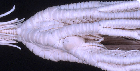 A specimen of Neocrinus decorus showing malformed plates