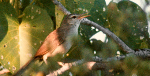 Aldabra brush warbler singing