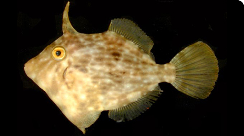 An oceanic filefish of the family Monacanthidae