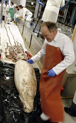 Museum scientist, Oliver Crimmen, measures the giant squid