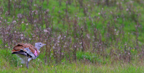 Young great bustard