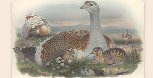 Great bustard illustration
