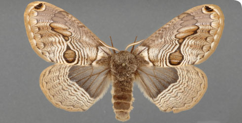 Brahmaea europaea adult set specimen (female)