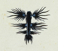 Sydney Parkinson drawing of Glaucus atlanticus