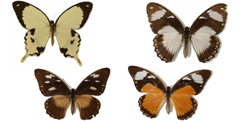 The varying forms of Papilio dardanus