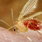 Phlebotomus papatasi sandfly in the process of ingesting a blood meal