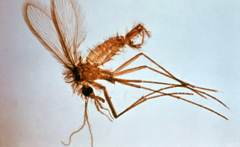 A male sandfly of the genus Phlebotomus