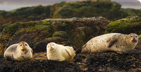 Adult harbour seals