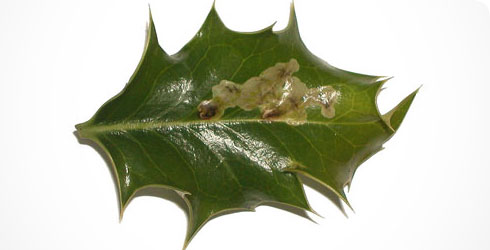 A holly leaf showing the characteristic blotch mines of Phytomyza ilicis