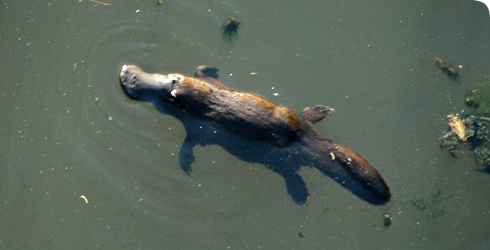 A platypus swimming in a river in AustraliaA platypus swimming in a river in Queensland, Australia