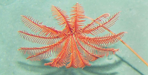 Proisocrinus ruberrimus, the Moulin Rouge sea lily