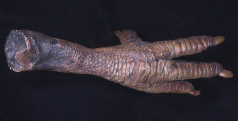 A plaster cast of the preserved foot of Raphus cucullatus