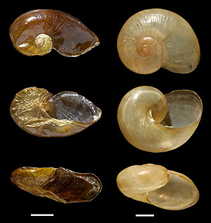 Shells of Ratnadvipia