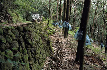 A rubber plantation where Xylophis captaini occurs