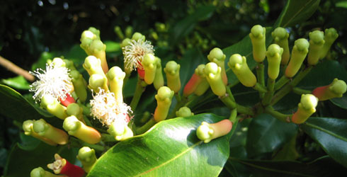 Syzygium aromaticum on tree