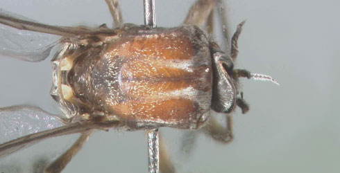 Female Simulium rubithorax