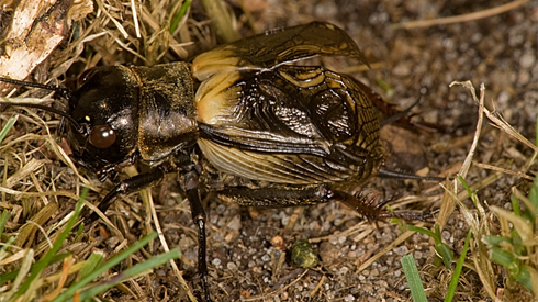 Adult male field cricket with wings raised in their singing position