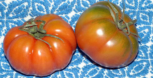 Cultivated tomatoes