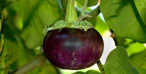 Aubergine purplish green fruit