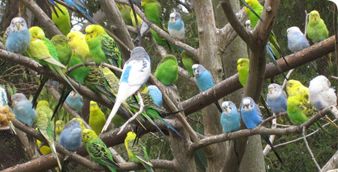 A multi-coloured flock of captive budgerigars