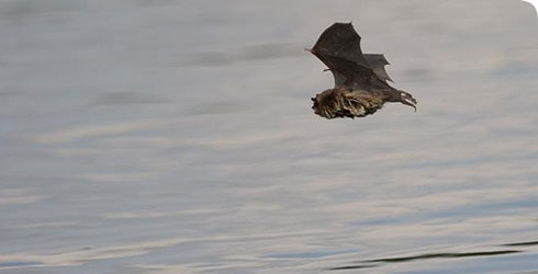Daubenton's bat flying over water