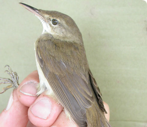Large-billed reed warbler