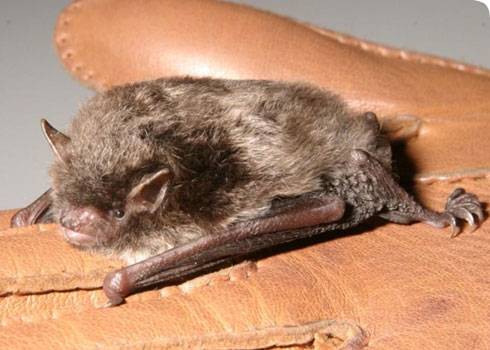 Daubenton's bat on glove