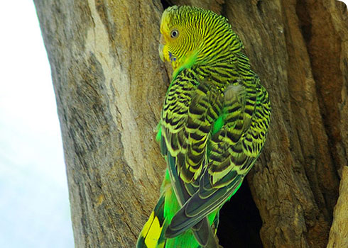 Wild, female budgerigar