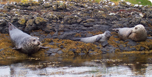 Grey seals and pup