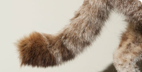 Tail of Felis silvestris grampia