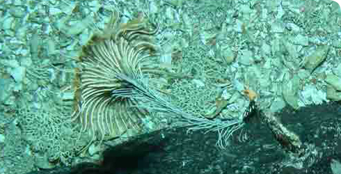 A stalked crinoid in the order Isocrinida