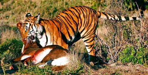 A South China tiger with its kill