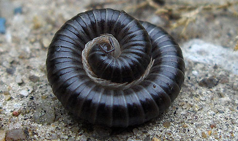 Black millipede in defensive spiral